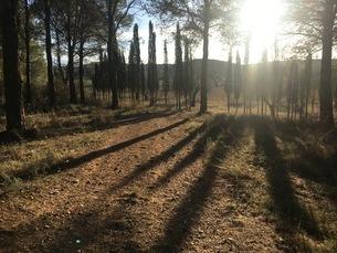 夕方の光、長い影をキャストの針葉樹林の写真素材 [FYI03412209]