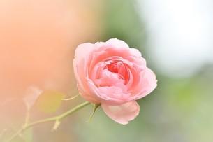 ピンクの薔薇の花の写真素材 [FYI03412341]