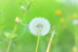 タンポポの綿毛の写真素材 [FYI03412343]
