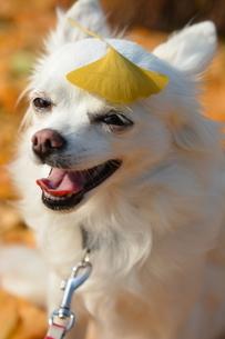 チワワ 犬 イチョウの写真素材 [FYI03412546]