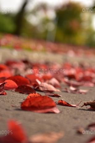 落ち葉の写真素材 [FYI03412551]