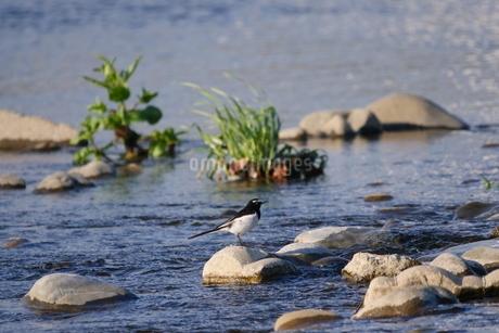 川中の石の上に佇むセキレイの写真素材 [FYI03412602]