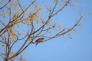 センダンの木に止るヒヨドリの写真素材 [FYI03412608]