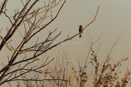 枝に止るヒヨドリの写真素材 [FYI03412611]