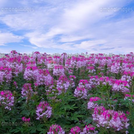 上富良野町 日本 北海道 上富良野町の写真素材 [FYI03412776]