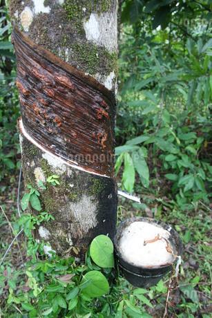 アマゾンのゴムの木の写真素材 [FYI03413005]