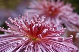 菊の写真素材 [FYI03413080]