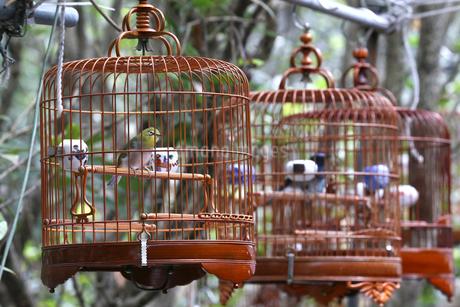 香港のバードガーデン(雀仔街)の自慢の小鳥。の写真素材 [FYI03413151]