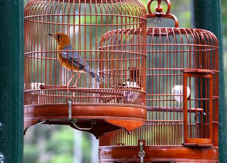香港バードガーデン(雀仔街)で売られる鳴き声自慢の小鳥の写真素材 [FYI03413165]