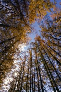 カラマツ防風林の写真素材 [FYI03413503]