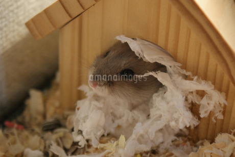 かわいいジャンガリアンハムスターのイメージ(プルーサファイア)の写真素材 [FYI03413550]