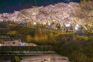 宮城野早川堤の桜の写真素材 [FYI03413604]
