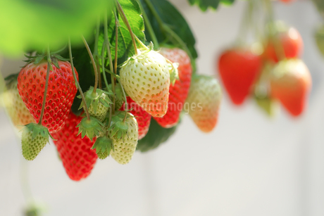 苺のイメージの写真素材 [FYI03413630]