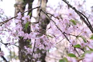桜の画像素材の写真素材 [FYI03413737]