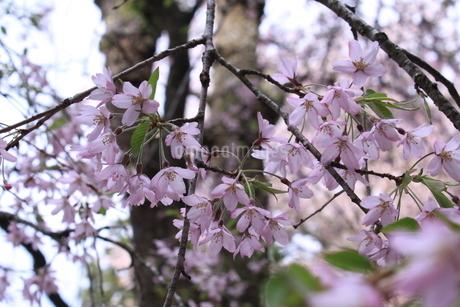 桜の画像素材の写真素材 [FYI03413738]