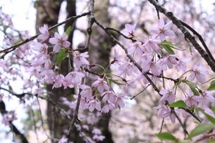 桜の画像素材の写真素材 [FYI03413739]