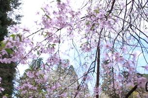 桜の画像素材の写真素材 [FYI03413740]