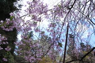 桜の画像素材の写真素材 [FYI03413741]