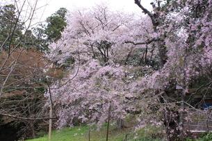 桜の画像素材(岩手県中尊寺)の写真素材 [FYI03413742]