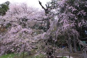 桜の画像素材(岩手県中尊寺)の写真素材 [FYI03413744]