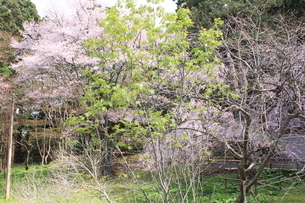 桜の画像素材(岩手県中尊寺)の写真素材 [FYI03413745]
