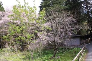 桜の画像素材(岩手県中尊寺)の写真素材 [FYI03413746]