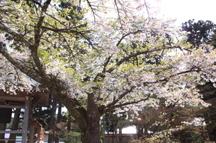桜の画像素材(岩手県中尊寺)の写真素材 [FYI03413747]