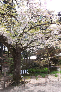 桜の画像素材(岩手県中尊寺)の写真素材 [FYI03413748]