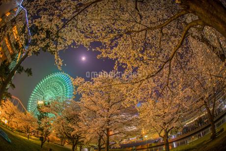 みなとみらいの夜桜と観覧車の写真素材 [FYI03413787]