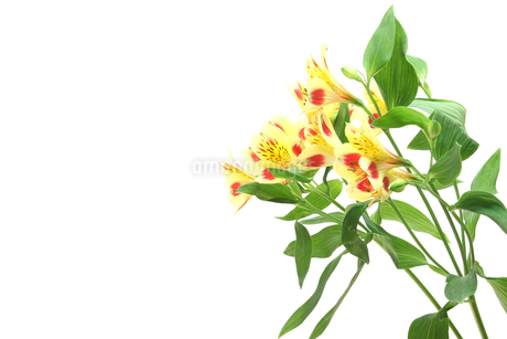 アルストロメリアの花束 の写真素材 [FYI03413812]