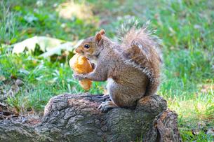 パンを食べるリスのイメージの写真素材 [FYI03413873]
