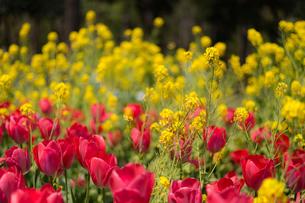 菜の花とチューリップの写真素材 [FYI03414045]