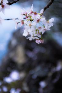 桜の写真素材 [FYI03414051]