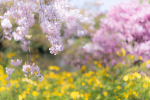 桜の写真素材 [FYI03414052]