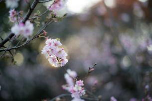 桜の写真素材 [FYI03414062]