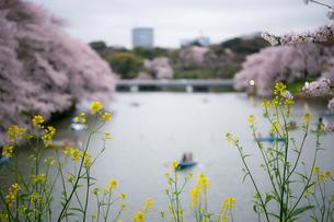 菜の花と桜の写真素材 [FYI03414076]