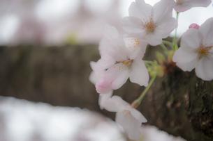 桜の写真素材 [FYI03414077]