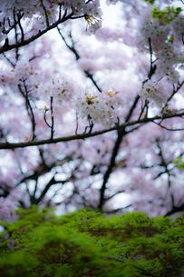 桜の写真素材 [FYI03414078]