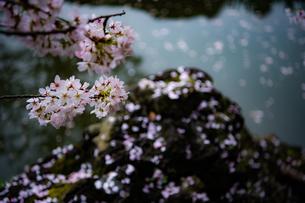 桜の写真素材 [FYI03414079]