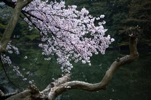 桜の写真素材 [FYI03414080]