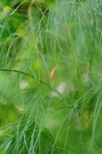 ピンクの花の写真素材 [FYI03414110]