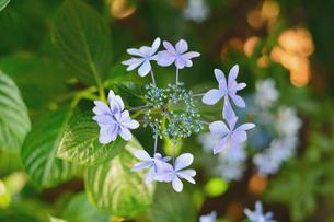 紫陽花の写真素材 [FYI03414111]