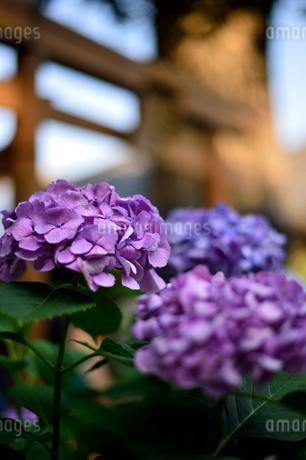 紫陽花の写真素材 [FYI03414113]