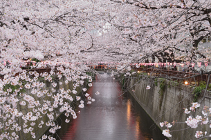 目黒川の桜の写真素材 [FYI03414124]