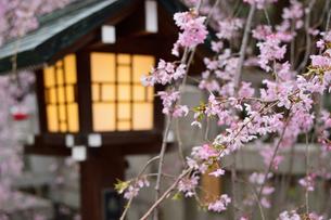 桜と灯篭の写真素材 [FYI03414127]