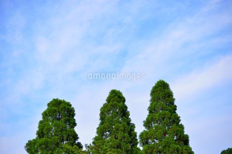 三本の木の写真素材 [FYI03414141]