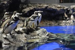 ペンギンの写真素材 [FYI03414178]