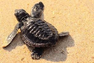 浜辺の海亀の写真素材 [FYI03414200]