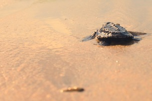 浜辺の海亀の写真素材 [FYI03414201]