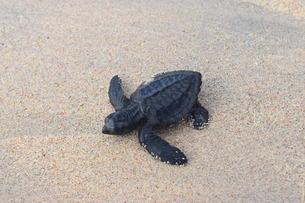 浜辺の海亀の写真素材 [FYI03414203]